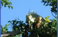 Ecoquest Adventures & Tours: Iguana on the tree top