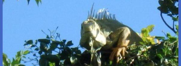 Ecoquest Adventures & Tours: Iguana on the tree top