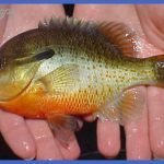 fishing redbreasted sunfish 2 150x150 Fishing: Redbreasted Sunfish