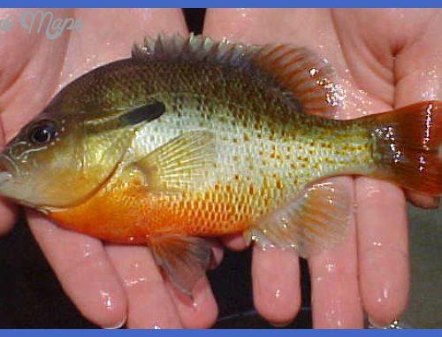 Sunfish - Family Centrarchidae - Fairfax County, Virginia