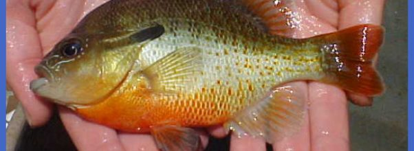 Sunfish - Family Centrarchidae - Fairfax County, Virginia