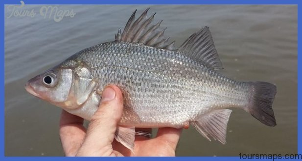 White perch, delaware bay, canary creek, broadkill river, tidal ...