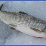 fishing whitefish 0 150x150 Fishing: Whitefish