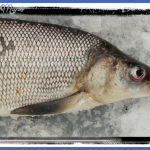 fishing whitefish 6 150x150 Fishing: Whitefish