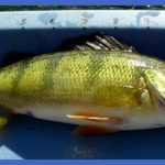 fishing yellow perch 1 150x150 Fishing: Yellow Perch