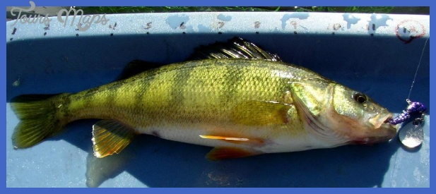 Yellow Perch Smallmouth Bass Walleye Stringer On Black Walnut Plaque ...