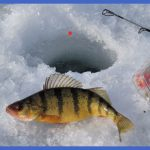 fishing yellow perch 4 150x150 Fishing: Yellow Perch