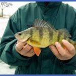 fishing yellow perch 5 150x150 Fishing: Yellow Perch