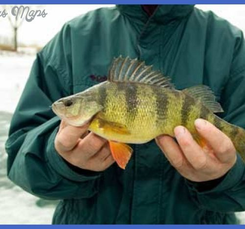 Man holding yellow perch caught while ice-fishing.