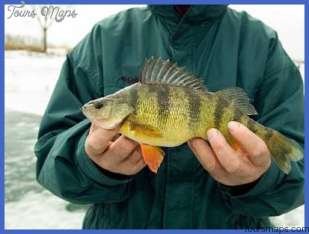 fishing yellow perch 5 Fishing: Yellow Perch