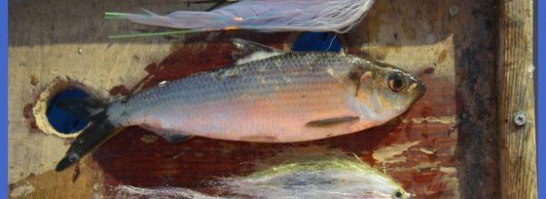 Fishing Charters & Reports Hotline 207-691-0745: Maine Striper Fishing ...