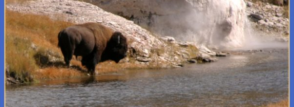 Bison, Firehole River, Upper Geyser Basin – Old Faithful Area ...