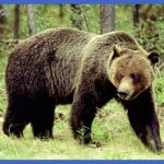 where are all the yellowstone bears now  10 150x150 Where Are All the Yellowstone Bears Now?