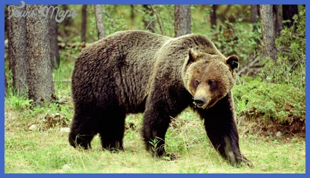 where are all the yellowstone bears now  10 Where Are All the Yellowstone Bears Now?