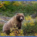 Yellowstone Wildlife Conservation: Save the Bears |