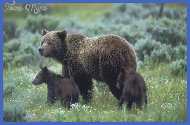 yellowstone bears  0 Yellowstone Bears