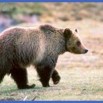 yellowstone bears  7 150x150 Yellowstone Bears