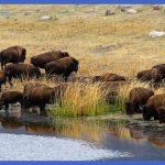 yellowstone larger mammals  13 150x150 Yellowstone Larger mammals
