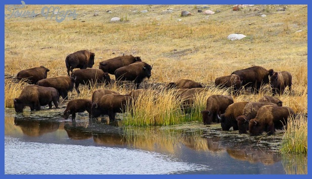 yellowstone larger mammals  13 Yellowstone Larger mammals
