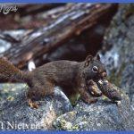 yellowstone larger mammals 6 150x150 Yellowstone Larger mammals
