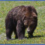 yellowstone larger mammals 8 150x150 Yellowstone Larger mammals