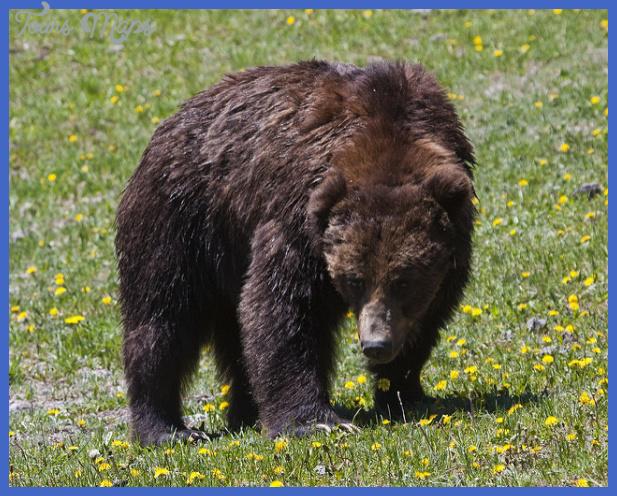 yellowstone larger mammals 8 Yellowstone Larger mammals