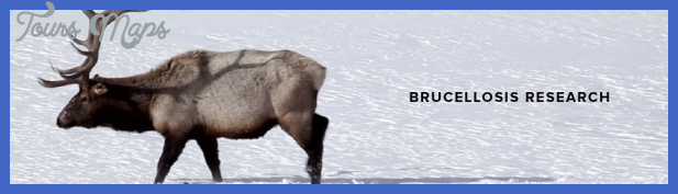 yellowstone the brucellosis problem 1 Yellowstone The Brucellosis Problem