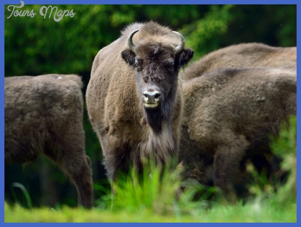 yellowstone the brucellosis problem 17 Yellowstone The Brucellosis Problem