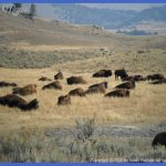 yellowstone the brucellosis problem 45 150x150 Yellowstone The Brucellosis Problem