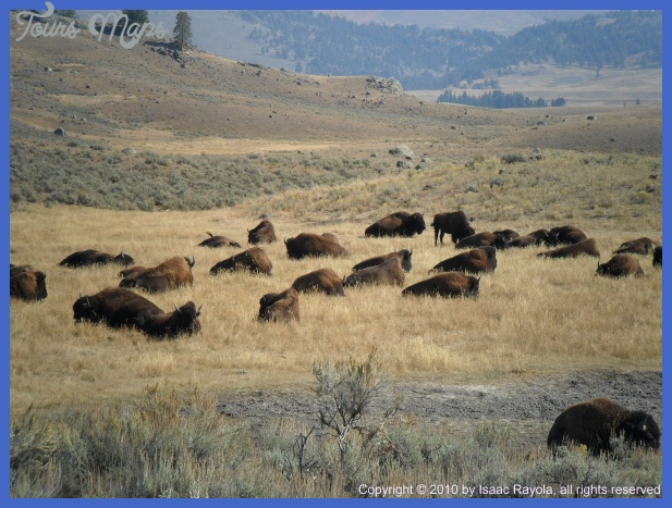 yellowstone the brucellosis problem 45 Yellowstone The Brucellosis Problem