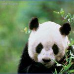 baedeker special giant panda 43 150x150 Baedeker Special Giant Panda