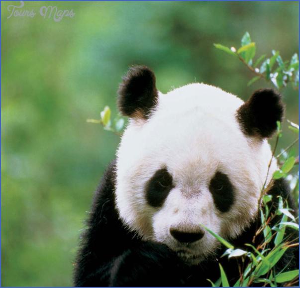 baedeker special giant panda 43 Baedeker Special Giant Panda