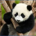 baedeker special giant panda 49 150x150 Baedeker Special Giant Panda