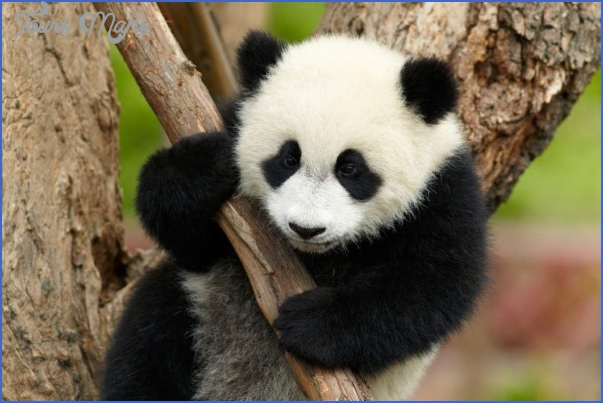baedeker special giant panda 49 Baedeker Special Giant Panda