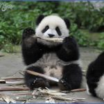 baedeker special giant panda 52 150x150 Baedeker Special Giant Panda