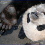 baedeker special giant panda 56 150x150 Baedeker Special Giant Panda