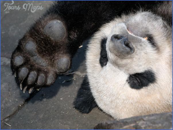 baedeker special giant panda 56 Baedeker Special Giant Panda