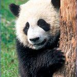 baedeker special giant panda 58 150x150 Baedeker Special Giant Panda
