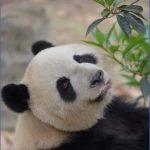 baedeker special giant panda 60 150x150 Baedeker Special Giant Panda