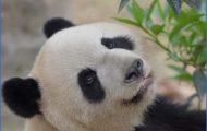 Baedeker Special Giant Panda_60.jpg