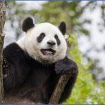 baedeker special giant panda 63 150x150 Baedeker Special Giant Panda
