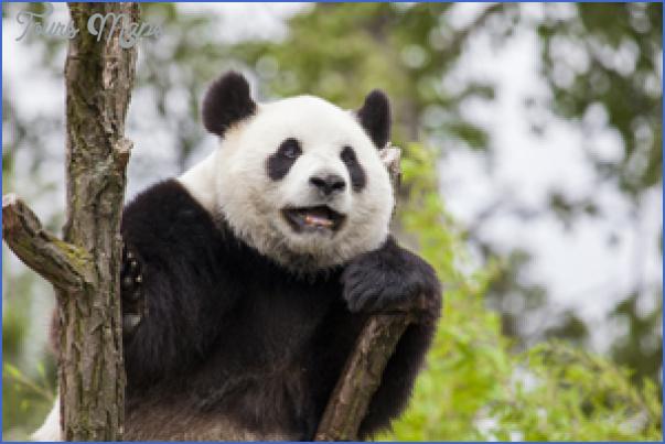 baedeker special giant panda 63 Baedeker Special Giant Panda