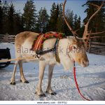 lapps with reindeer northern finland 8 150x150 Lapps with reindeer Northern Finland