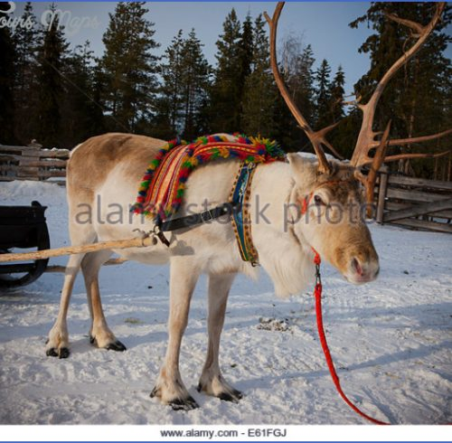 Lapps with reindeer (Northern Finland)_8.jpg