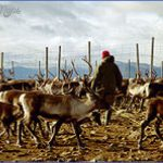 lapps with reindeer northern finland 9 150x150 Lapps with reindeer Northern Finland