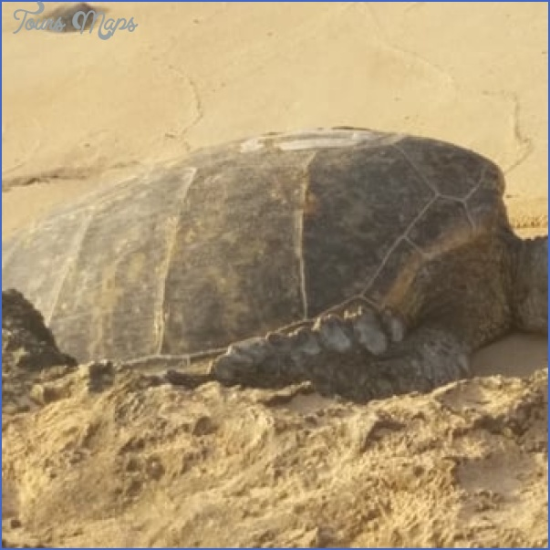 turtles of oahu a quick guide for travelers 5 Turtles of Oahu: A Quick Guide for Travelers