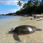 turtles of oahu a quick guide for travelers 8 150x150 Turtles of Oahu: A Quick Guide for Travelers
