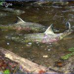 nwwfishtwo13 300x225 150x150 Salmon Fishing Hood Canal