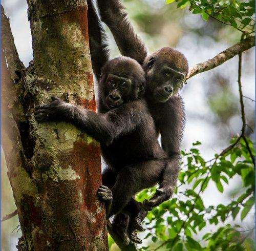 Gorilla Trek Africa Safari Travel_0.jpg