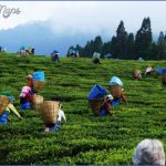 assam tea gardens 150x150 Sightseeing and Tourism in Guwahati